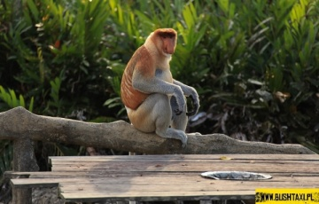 Bushtaxi na Borneo na tropie... Camel Trophy
