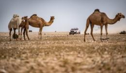 Kierowcy Toyot dominują na pierwszym etapie Manateq Qatar Cross Country Rally 2019